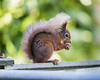 Red Squirrel IMG_7849 by s0ulsurfing