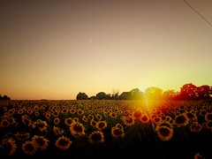 Sunset Sunflowers - Photo of Thianges