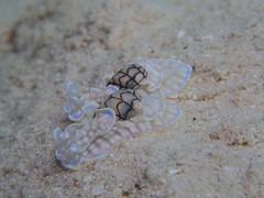 コンシボリガイ Micromelo undatum