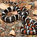 Lampropeltis zonata (California Mountain Kingsnake) by Spencer Dybdahl Riffle