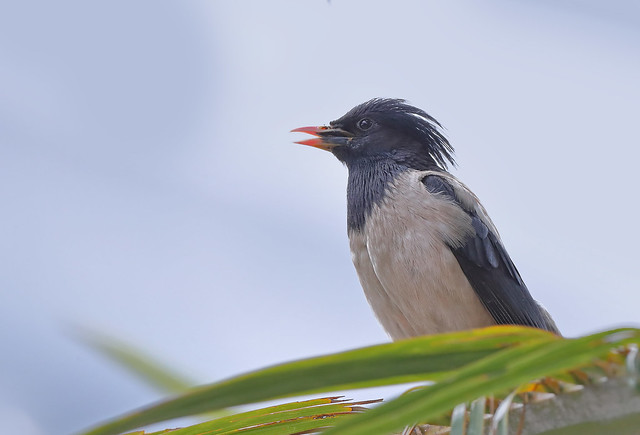 Rosy starling (Pastor roseus) 粉红椋鸟, Canon EOS-1D X MARK II, Canon EF 800mm f/5.6L IS