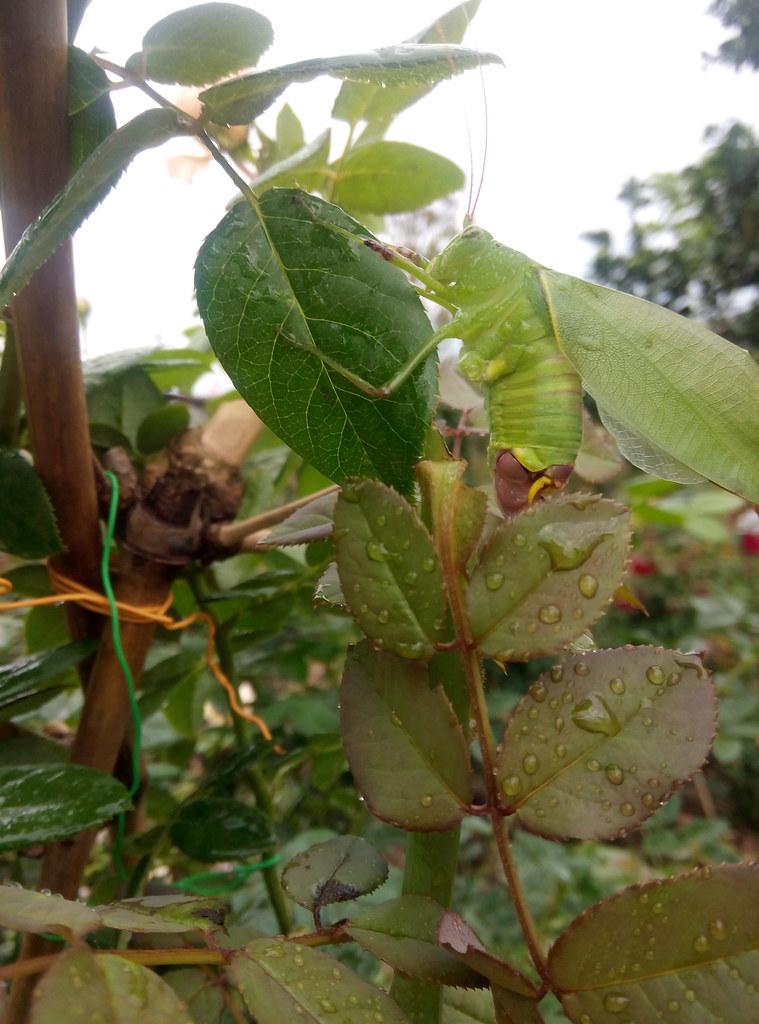 con trung can pha hoa hong (3)