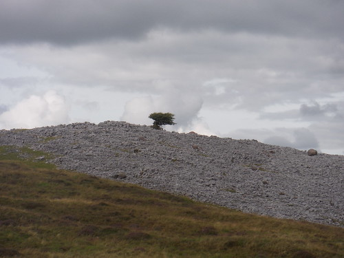 Weather-beaten tree on Limestone Field