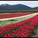 Panoramic Tulip Festival - Agassiz X2111e by Harris Hui (in search of light)