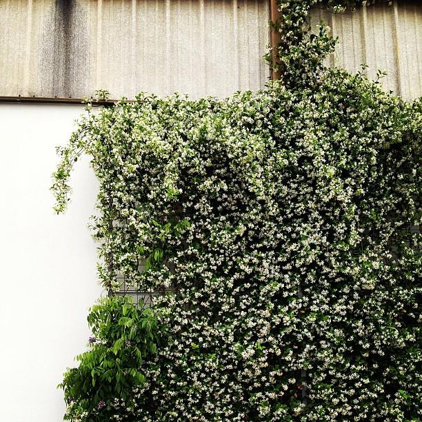 The world needs more jasmine.