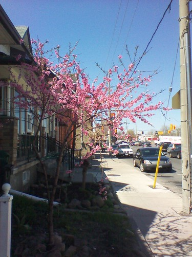 Cherry blossoms street-side, Dupont and Dufferin