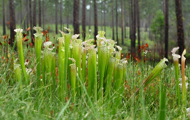 Blackwater Pitcher Plants