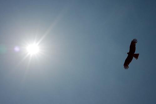 Black Kite 03