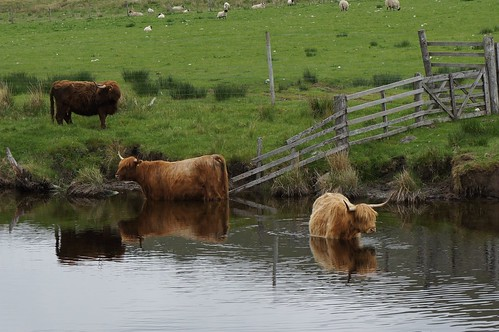 Highland Cows in the River Lyon, Glen Lyon