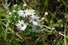 Prairie Aster. Day four. #specialareas #prairiewildflowers #wardlow