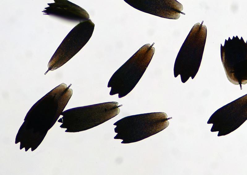 モンキアゲハ Papilio helenus