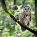 Barred Owl by Melis J