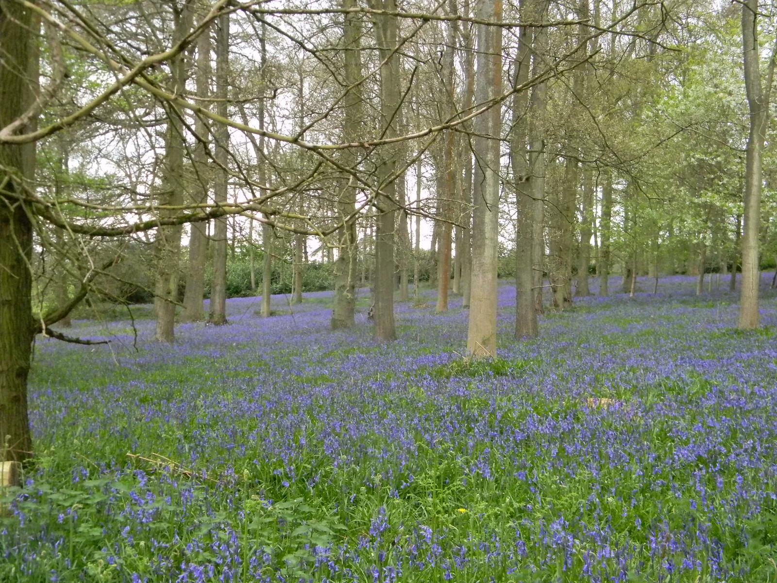 Bluebells, Bluebell Woods Shiplake to Henley