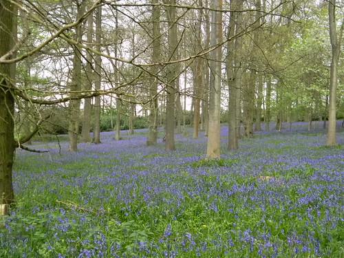 Bluebells, Bluebell Woods