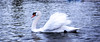 Royal Swan Of The Serpentine