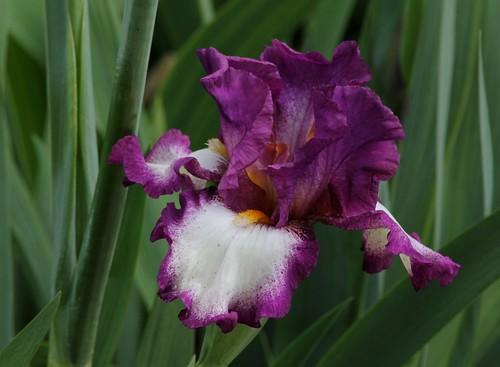 Nos Iris : floraisons 2012 8985925090_18d9c6f68e