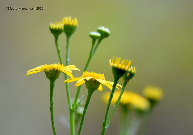 giallo.