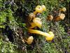 Leotia lubrica