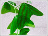Christia obcordata (Swallowtail Plant, Butterfly Leaf, Butterfly Wing/Plant, Butterfly Leaf 'Stripe')