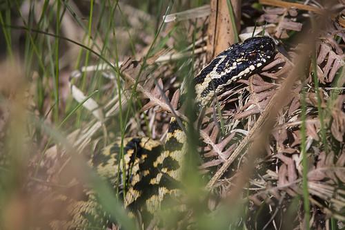 Wild Adder Snake - Surrey