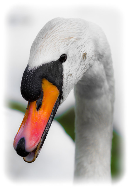 Swan of Hetton Lyons Country Park.