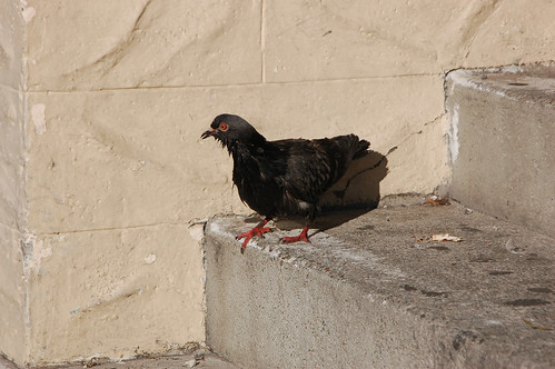 pigeon-red eye.jpg
