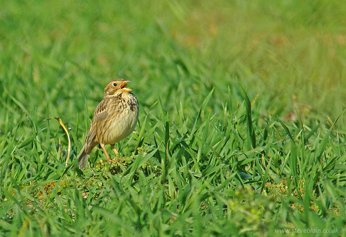 Corn Bunting at Broom GP