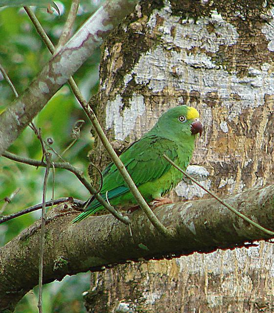 Header of Amazona ochrocephala