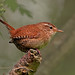 wren by gray clements