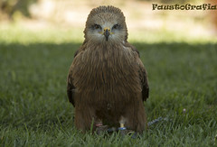 animal(1.0), bird of prey(1.0), falcon(1.0), owl(1.0), fauna(1.0), beak(1.0), great grey owl(1.0), bird(1.0), wildlife(1.0),