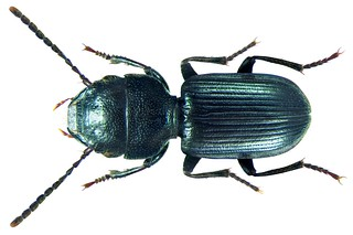 Dixus sphaerocephalus (Olivier, 1795)