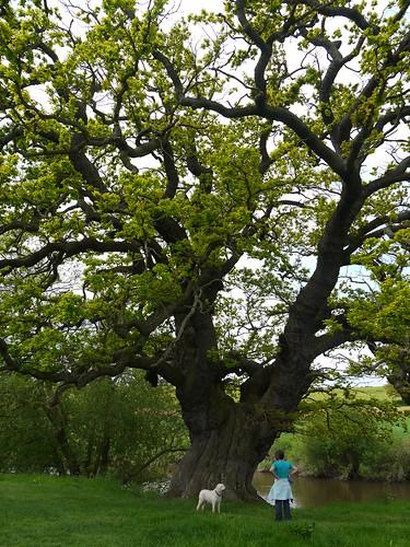 A Major Oak