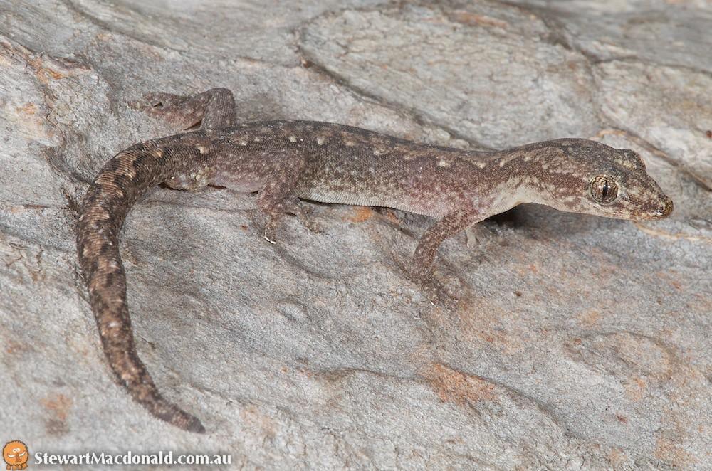 Zigzag velvet gecko (Oedura rhombifer)