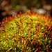 Red moss capsules by buffcleb