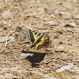 Mariposas en #alcoba #castillalamancha #igersciudadreal #buterfly #yellow