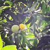 : :peach: #keduluan:monkey: #codot:watermelon: