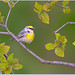 Brewster's Warbler (Hybrid of Golden-winged & Blue-winged Warblers) by BN Singh