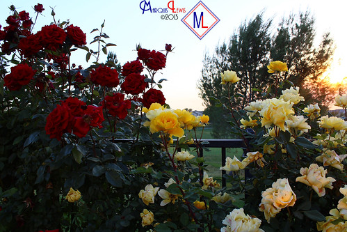 flowers red roses yellow landscape photography lewis ml antoine marquis menifee marquislewis marquisantoinelewisphotography