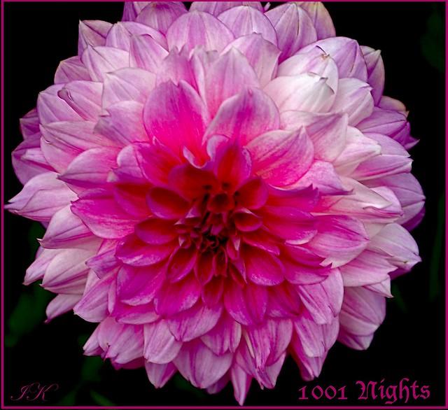 Pink Dahlia 1001 Nights
