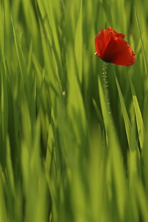 Coquelicot dans le vert / Poppy in the green