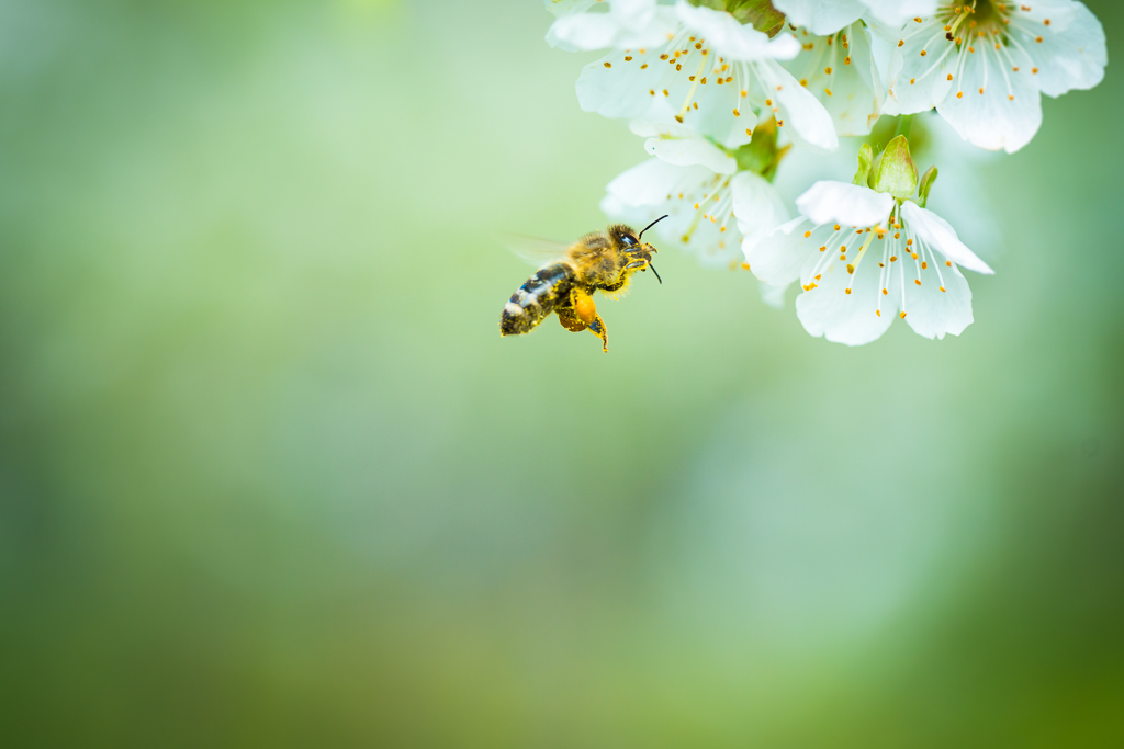 honey bee & cherry tree by l i g h t p o e t