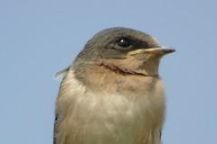 Chickadees Titmice & Swallows