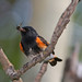 Male American Redstart (Setophaga ruticilla) by Don Delaney