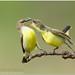 Purple-rumped Sunbird by Aravind Venkatraman