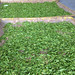 feuilles fraîches de Anji bai cha
