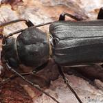 sötét fenyőcincér - Arhopalus ferus