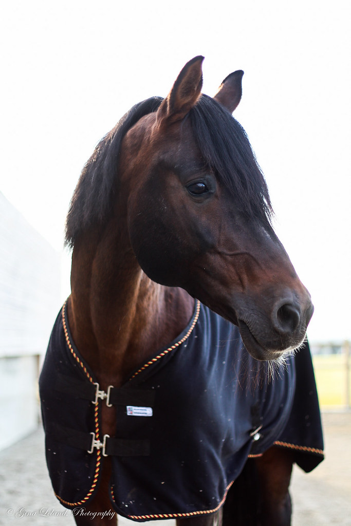 Stallion Mistral