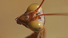European mantis IV