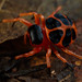 Orange and black tortoise orbweaver (Encyosaccus sexmaculatus) by pbertner