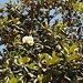 In the neighborhood…Magnolia grandiflora - 08